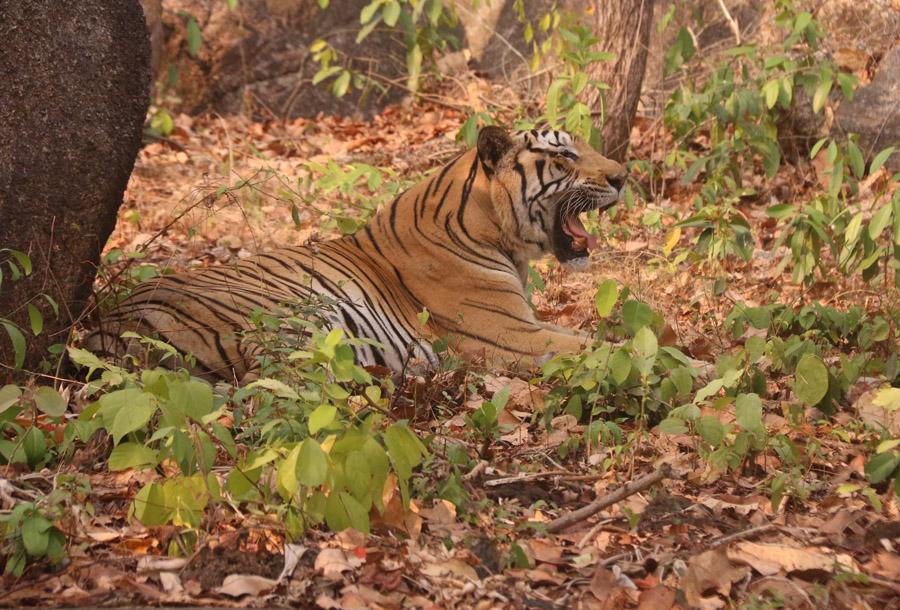 Tiger in Tamao zoo