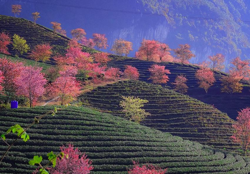 Moc Chau Tea Farm
